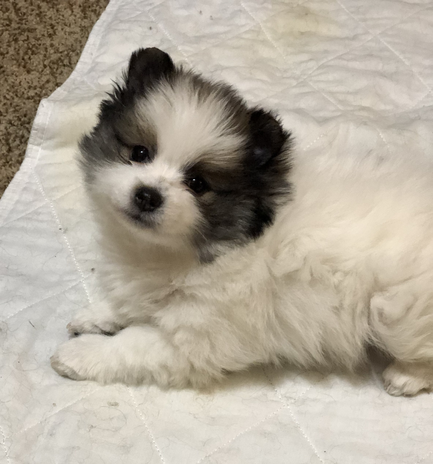 pomeranian chicago pomeranian puppies for sale chicago il 289176 9214