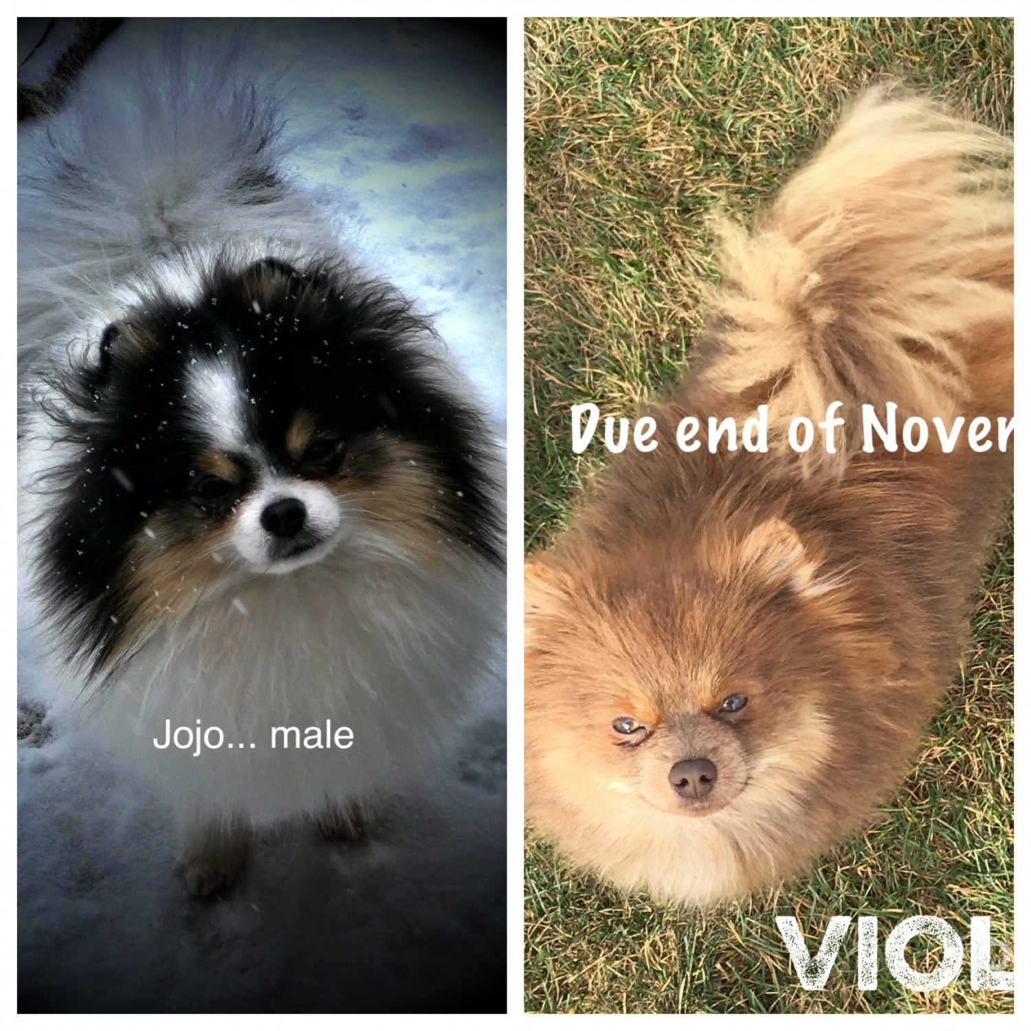 pomeranian chicago pomeranian puppies for sale chicago il 289176 3057