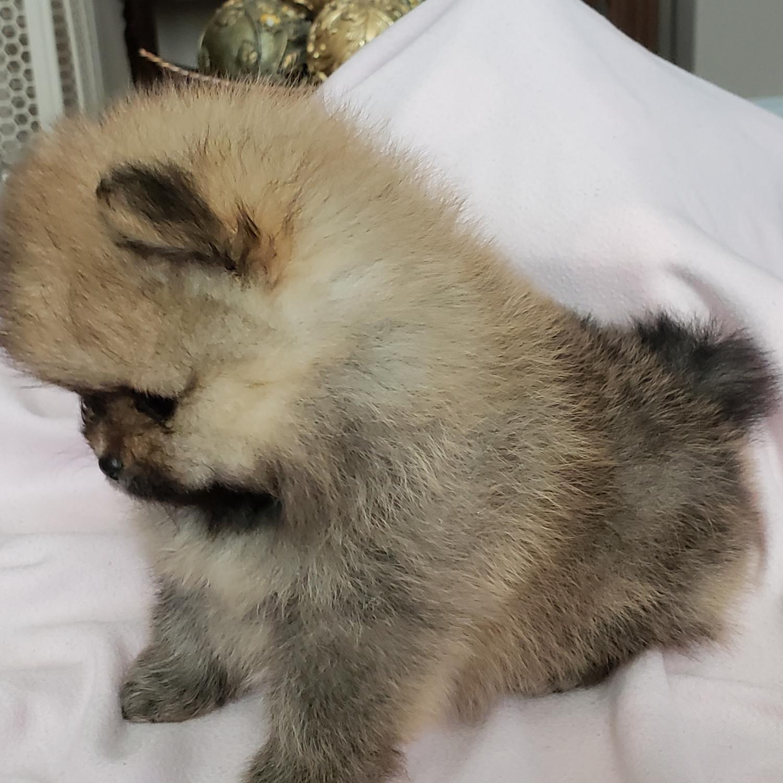 Pomeranian Puppies For Sale   Murrieta, CA #289963