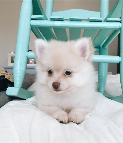 pomeranian for sale in sc pomeranian puppies for sale north myrtle beach sc 291021 7501