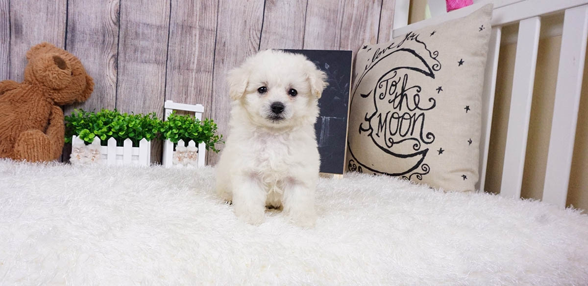 pomeranian puppies for sale in orange county pomeranian puppies for sale orange county ca 291322 3009