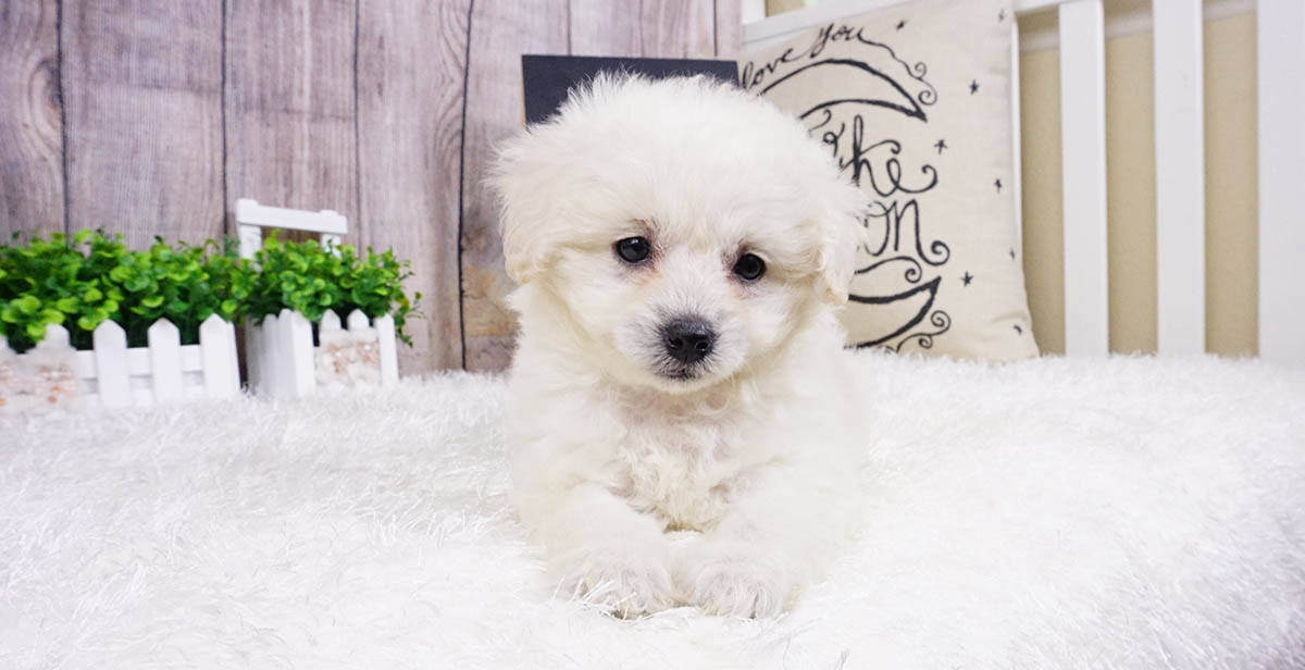 pomeranian puppies for sale in orange county pomeranian puppies for sale orange county ca 291322 8905