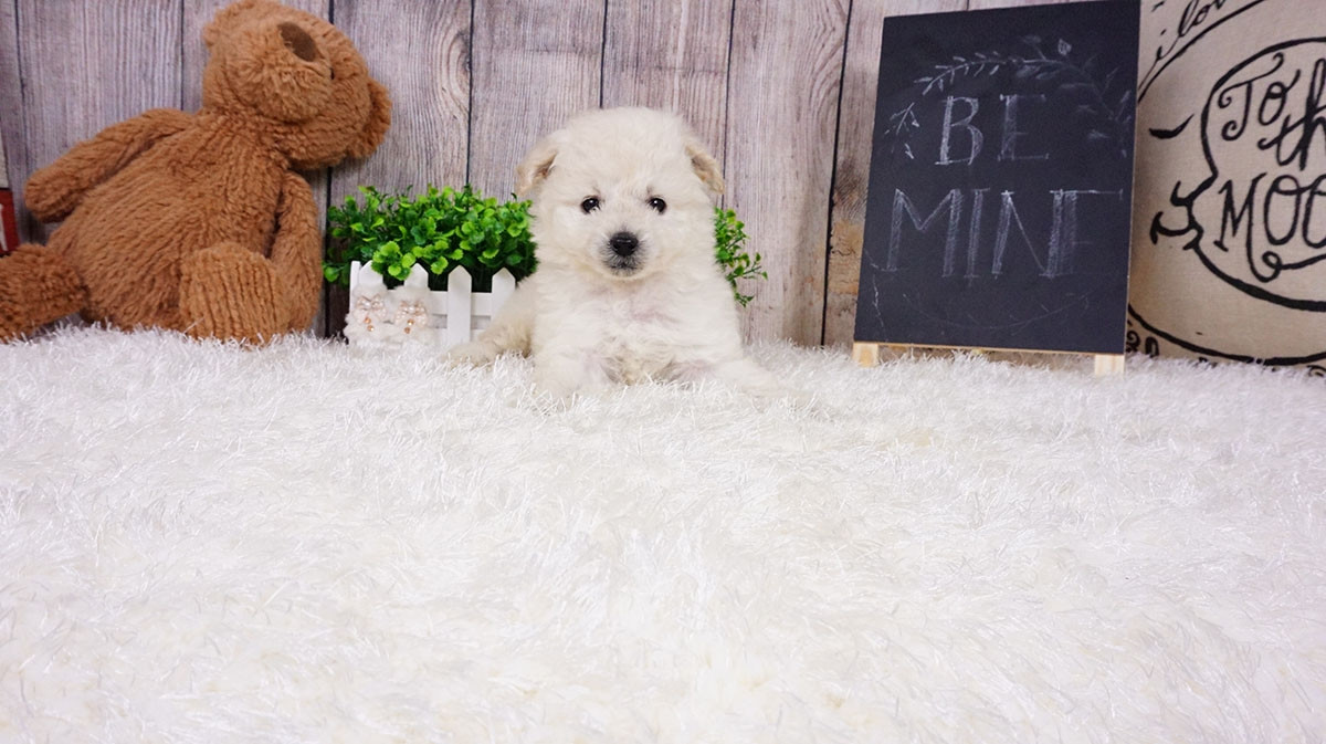 pomeranian puppies for sale in orange county pomeranian puppies for sale orange county ca 291492 8917