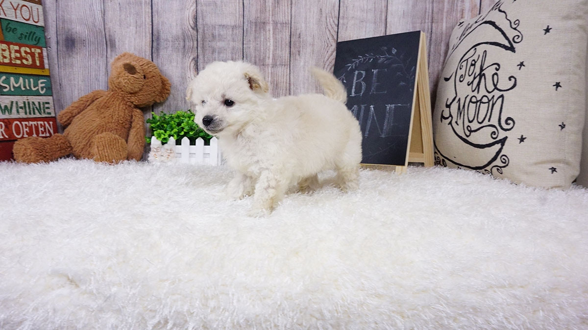 pomeranian puppies for sale in orange county pomeranian puppies for sale orange county ca 291492 5692