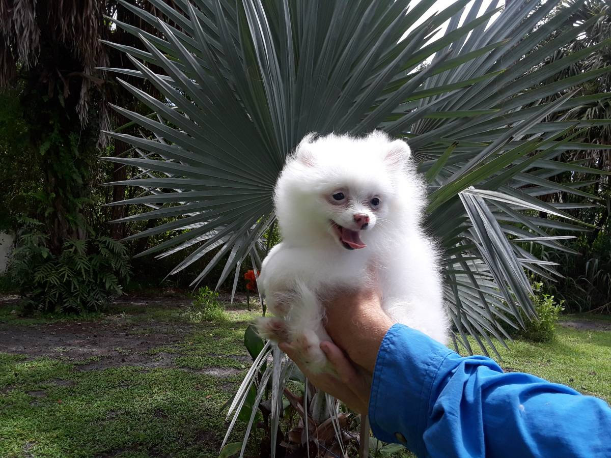 pomeranian for sale in sc pomeranian puppies for sale north myrtle beach sc 292344 9983