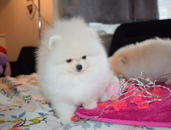 pomeranian chicago pomeranian puppies for sale chicago il 292393 6283