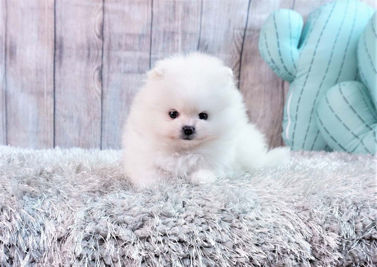 White Pomeranian Puppy For Sale In England UK