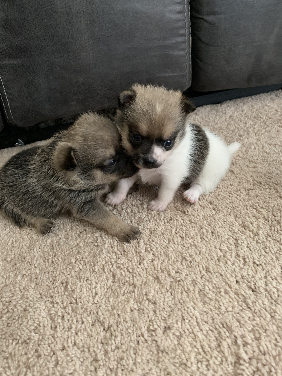 pomeranian georgia pomeranian puppies for sale lithonia ga 300267 9637