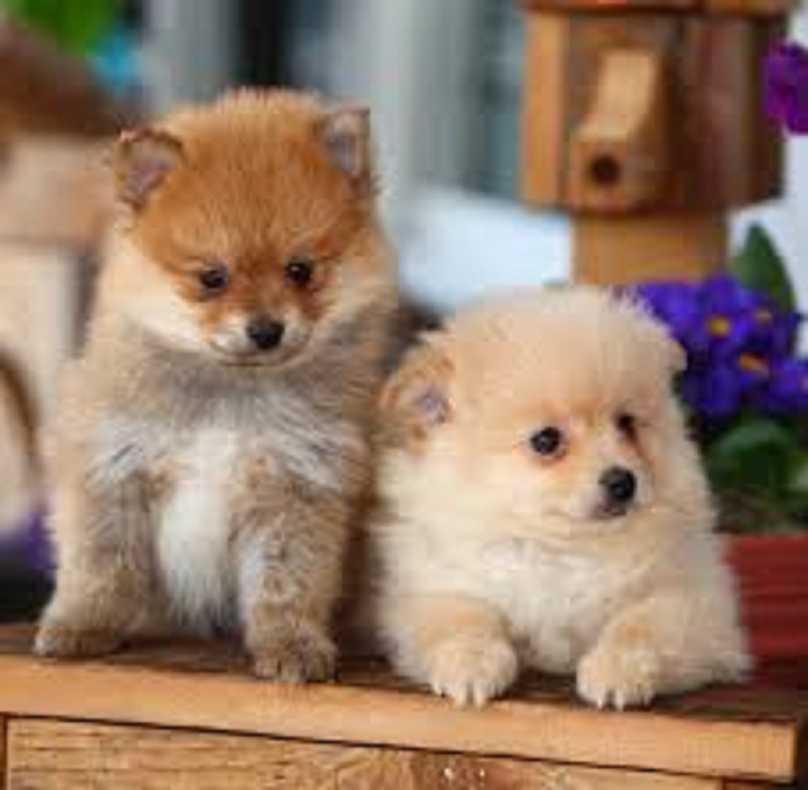 pomeranian puppies for sale colorado pomeranian puppies for sale colorado springs co 300576 8580