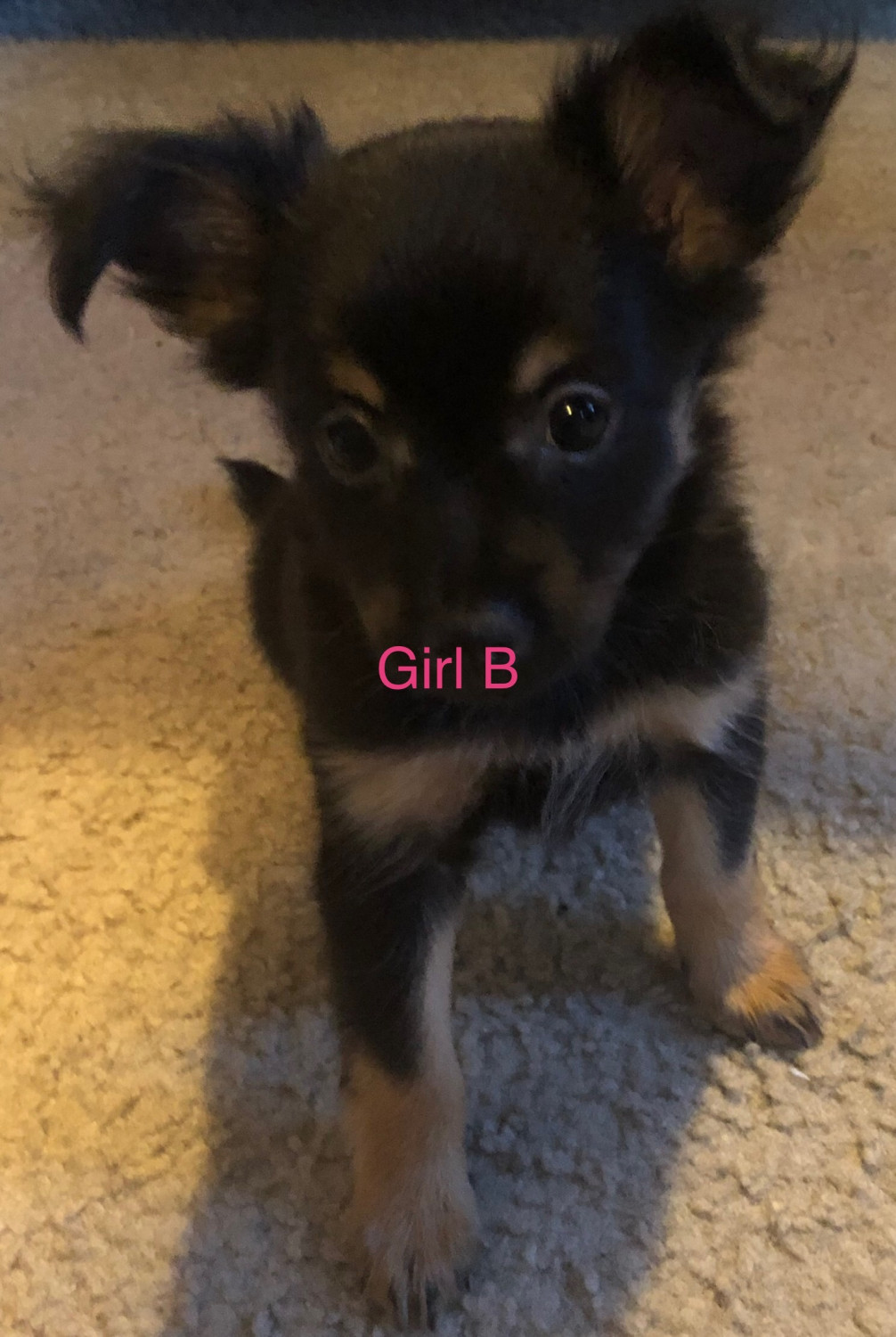 pomeranian puppy michigan pomeranian puppies for sale detroit mi 302255 7754