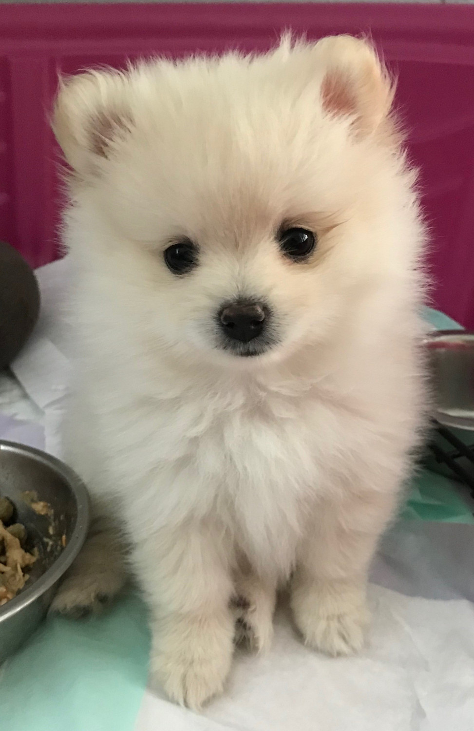 10 Amazing Things about Pomeranian Dogs - Pomeranian Facts |Pom Puppies