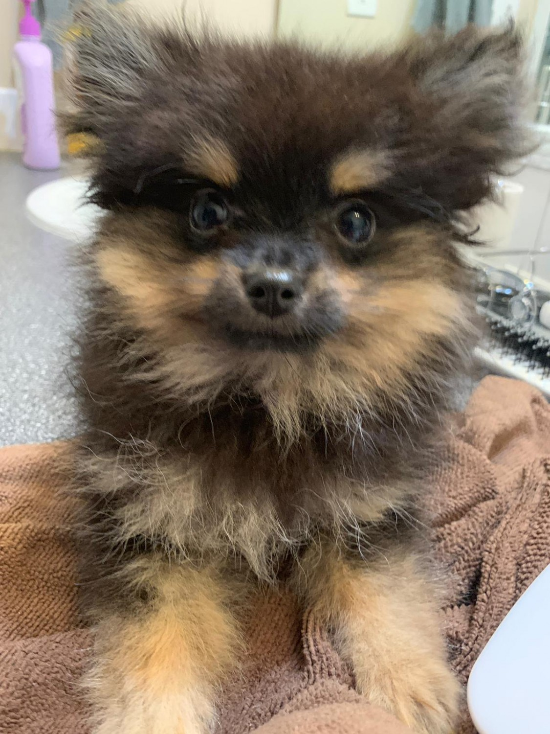KC Pomeranian Puppies. 1 GIRL 2 BOYS SOLD | Lancing, West ... |Pom Puppies
