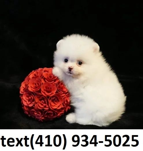 Pomeranian Puppies For Sale Staten Island Ny 323470