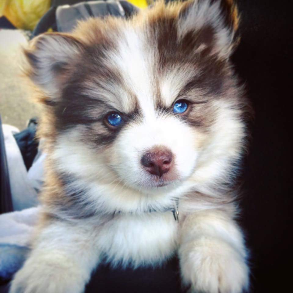 Pomsky Puppies For Sale Newark Nj 194908 Petzlover