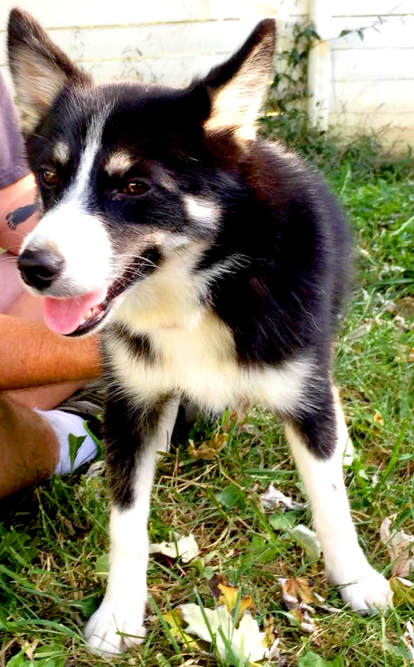Pomsky Puppies For Sale Louisville Ky 246184 Petzlover