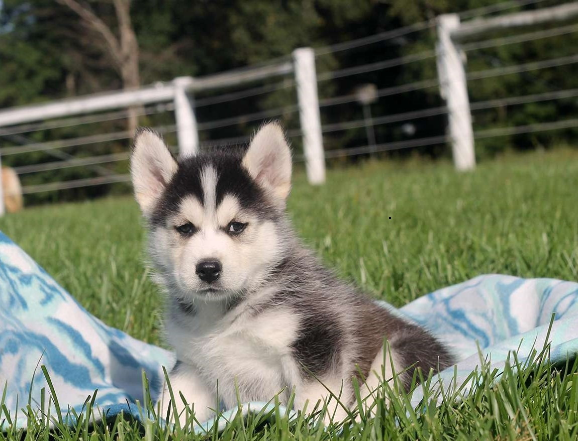 Pomsky Puppies For Sale North Bergen Nj 247324