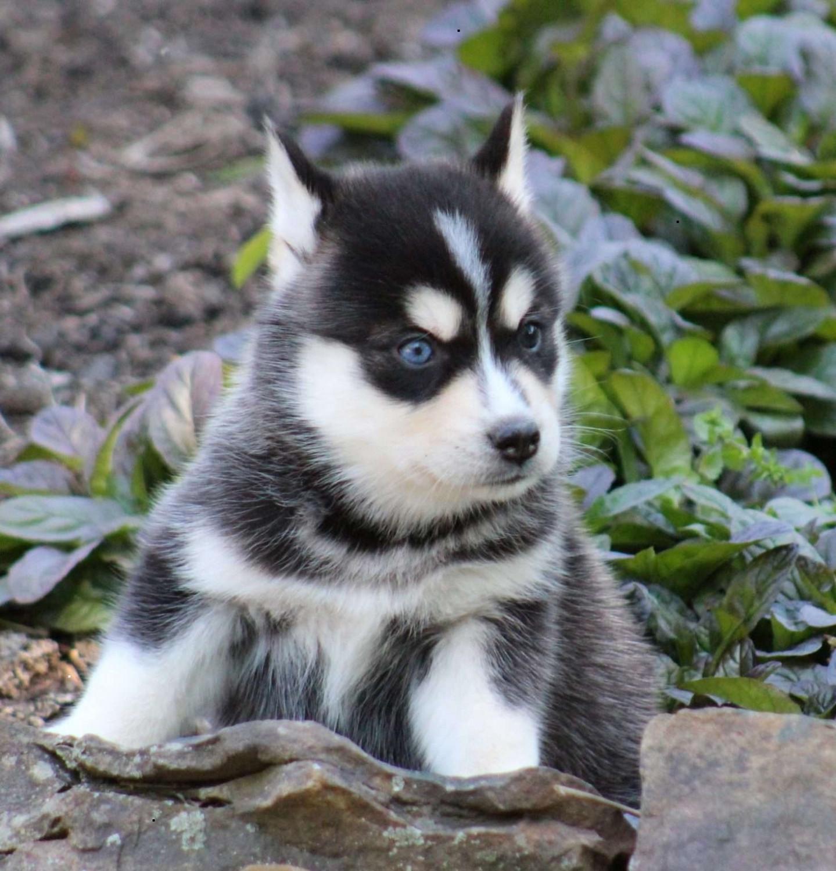 Pomsky Puppies For Sale   South Carolina USA