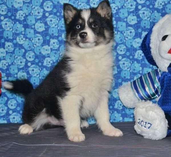 Pomsky Puppies For Sale In San Antonio Texas