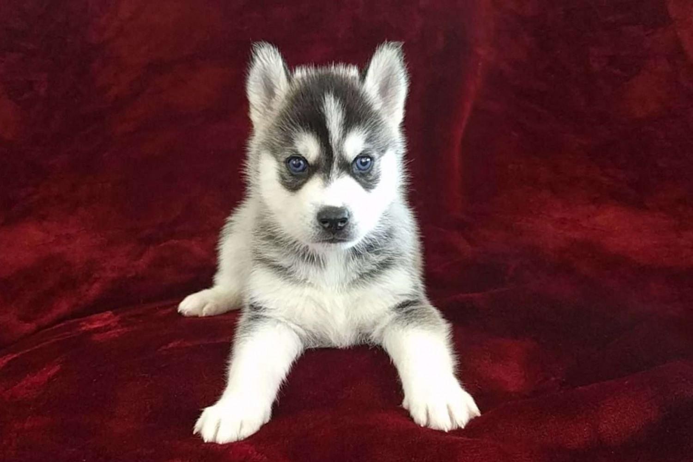 Pomsky puppies for sale az