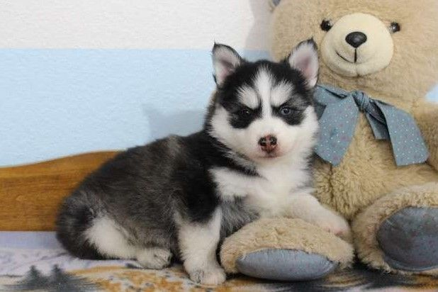 Pomsky Puppies For Sale | Victoria, TX #264339 | Petzlover
