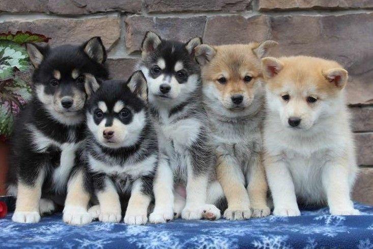 Pomsky Puppies For Sale   Victoria, TX #264339   Petzlover