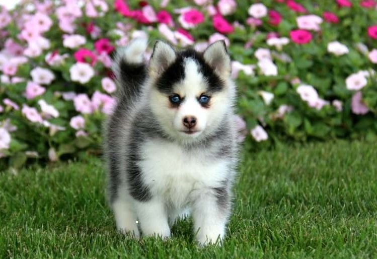 Pomsky Puppies For Sale | Washington Avenue, Houston, TX #265263