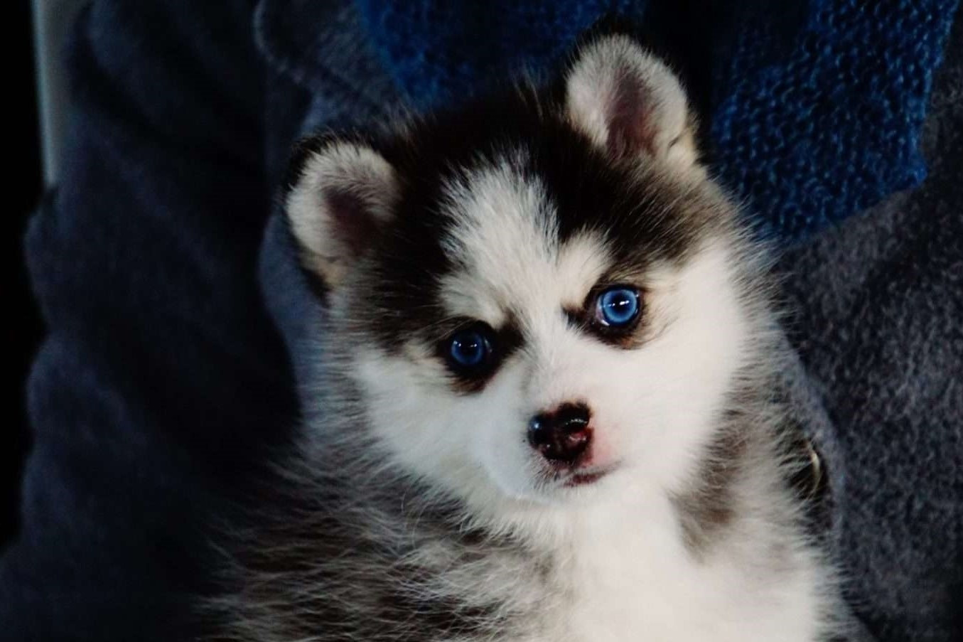 Pomsky Puppies For Sale Columbus Oh 272844 Petzlover