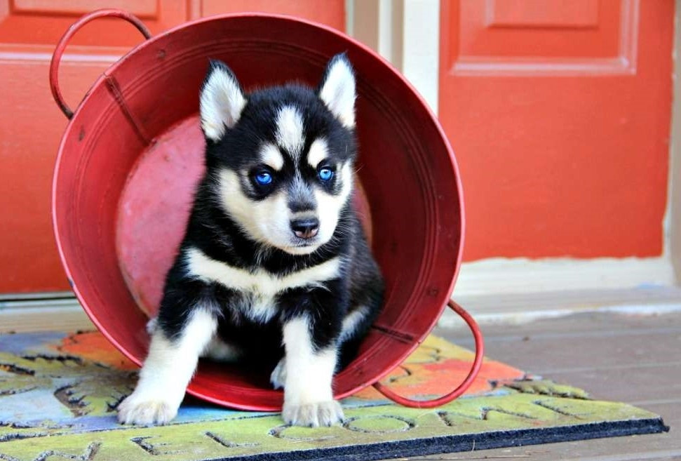 Pomsky Puppies For Sale | Columbus, OH #272844 | Petzlover