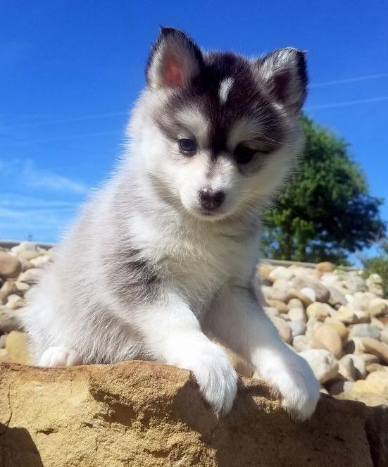 Pomsky Puppies For Sale | Los Angeles, CA #291228