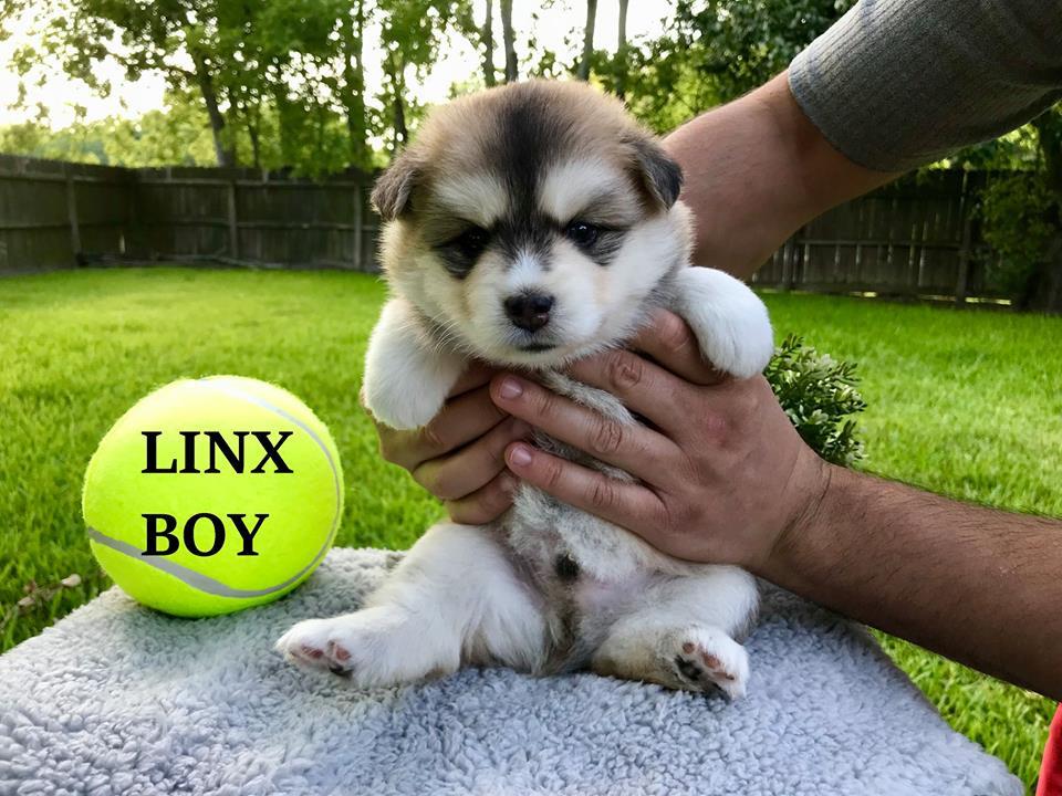 Pomsky Puppies For Sale Denver Co 292011 Petzlover