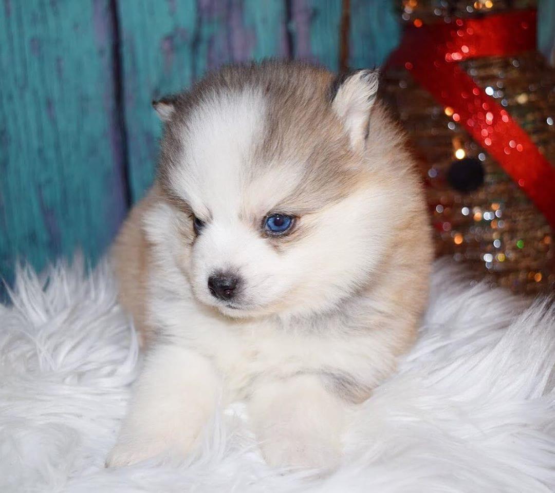Pomsky Puppies For Sale   Decatur, IL #293593   Petzlover