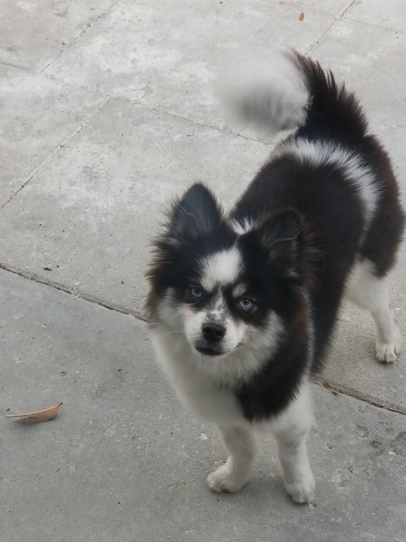 Pomsky Puppies For Sale | Seminole, FL #301522 | Petzlover