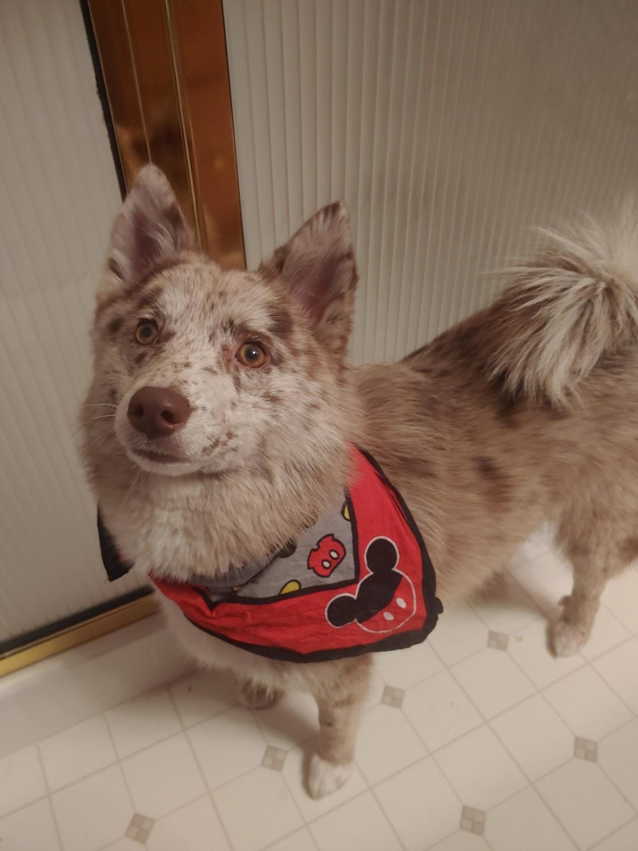 Pomsky Puppies For Sale | Monroe, MI #324451 | Petzlover