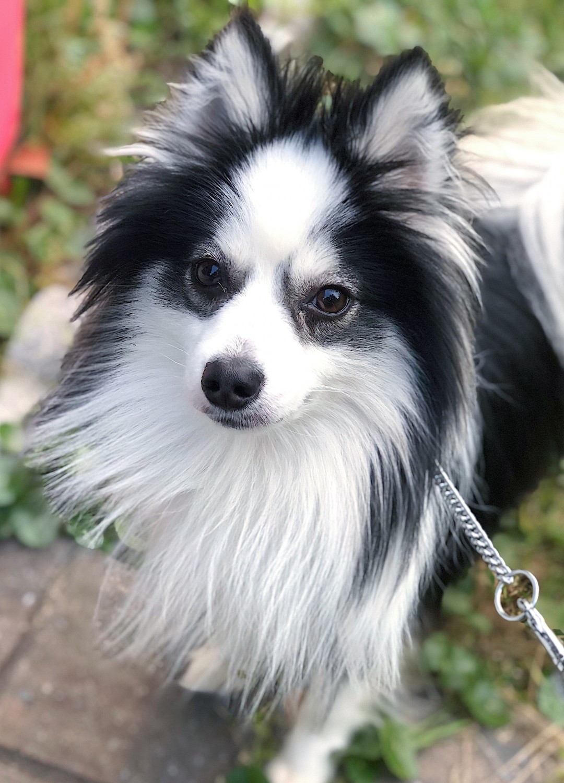 Pomsky Puppies For Sale | Idaho USA | Petzlover