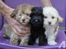 Poodle Puppies For Sale | Mobile, AL #114169 | Petzlover