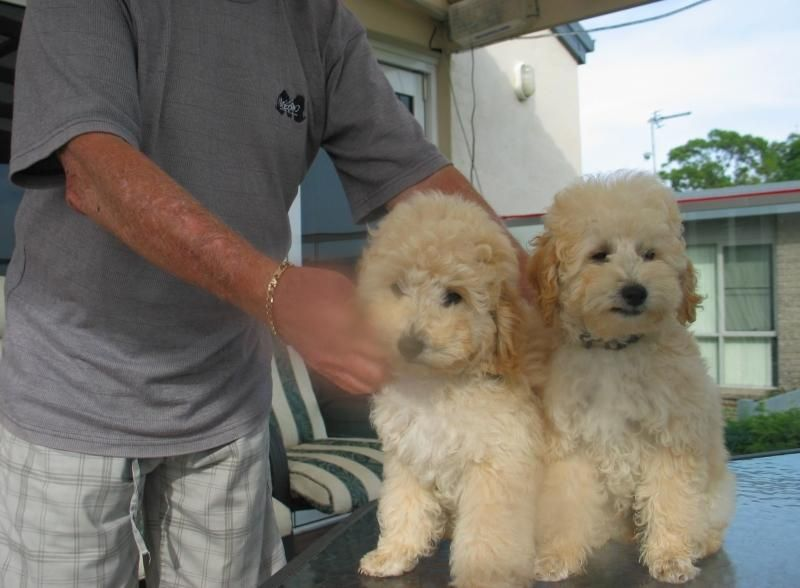 Poodle Puppies For Sale Denver Co 114286 Petzlover