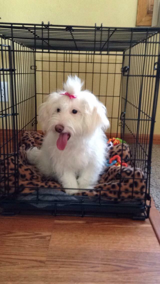Poodle Puppies For Sale Albert Lea Mn 128504 Petzlover