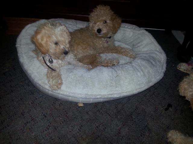Poodle Puppies For Sale Denver Co 129687 Petzlover