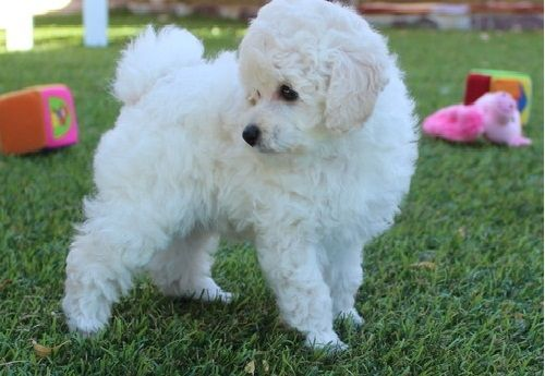 Poodle Puppies For Sale | Louisville, KY #160888 | Petzlover