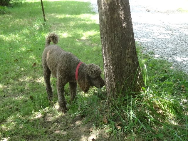 Poodle Puppies For Sale Knoxville Tn 162178 Petzlover