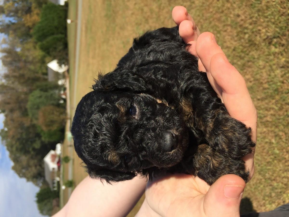 Poodle Puppies For Sale Graham Nc 170045 Petzlover