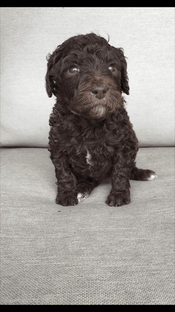 Poodle Puppies For Sale Nashville Tn 186279 Petzlover