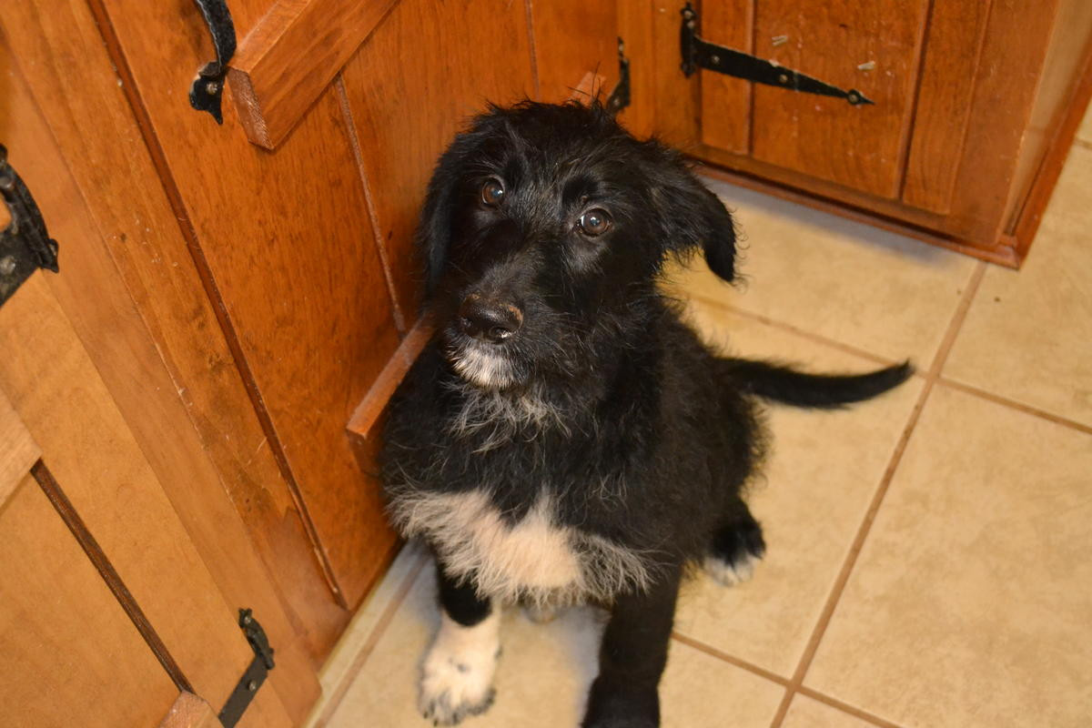 Poodle Puppies For Sale Hickory Nc 194677 Petzlover