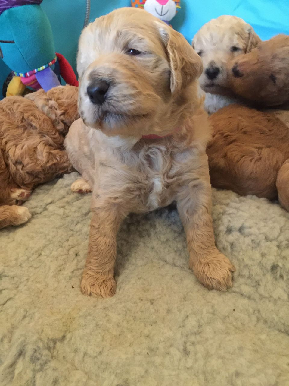 Poodle Puppies For Sale East Riverside Oltorf Tx 195870