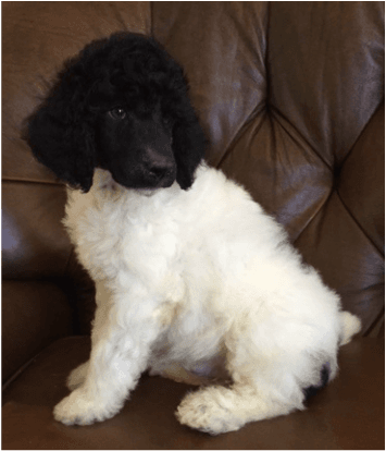 Poodle Puppies For Sale Chicago Il 213580 Petzlover