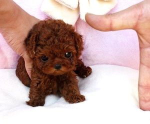Poodle Puppies For Sale Virginia Beach Va 219500