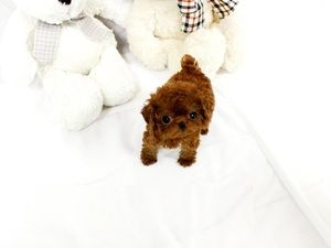 Poodle Puppies For Sale Texas 121 Tx 219545 Petzlover
