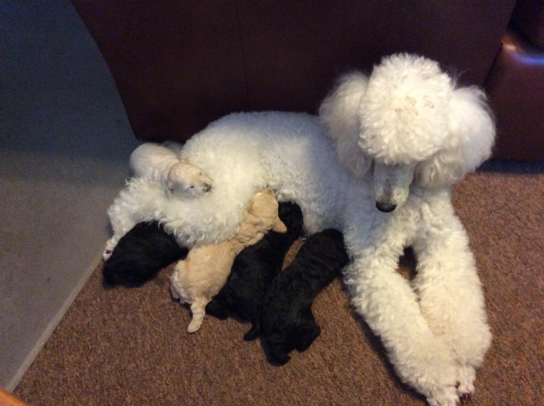 Poodle Puppies For Sale Fort Gratiot Township Mi 223169