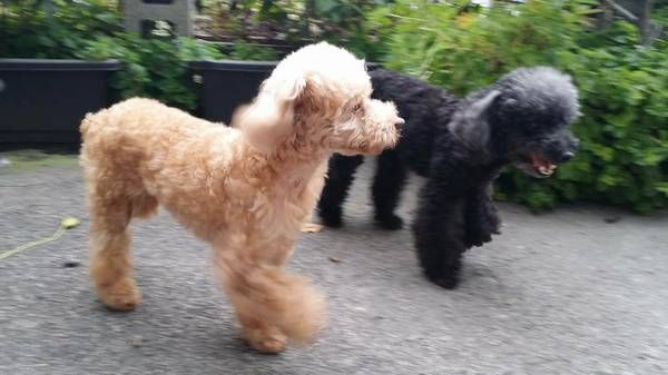 Poodle Puppies For Sale Newark Nj 232349 Petzlover