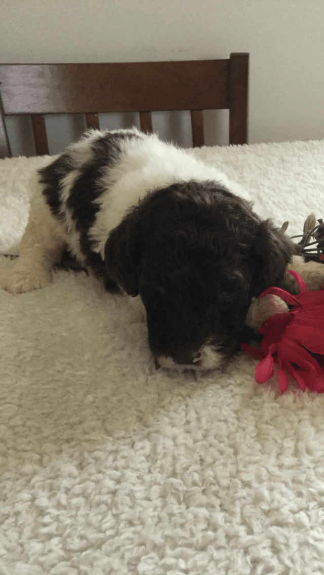 Poodle Puppies For Sale Peebles Oh 238814 Petzlover
